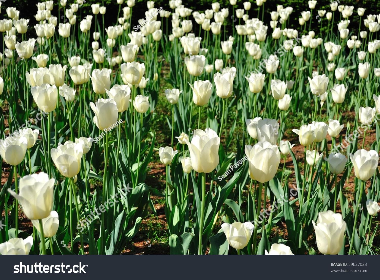 Field White Roses Stock Photo Edit Now 59627023 Shutterstock