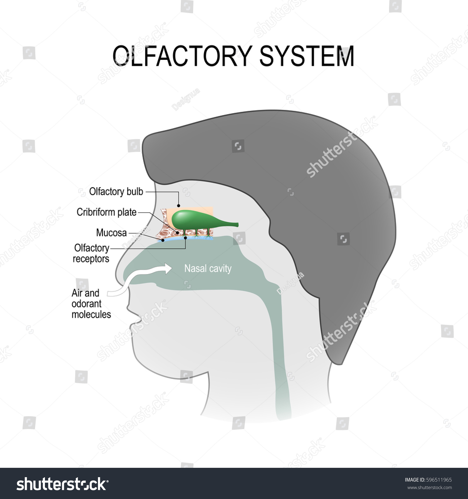 Olfactory System Human Anatomy Stock Vector 596511965 - Shutterstock