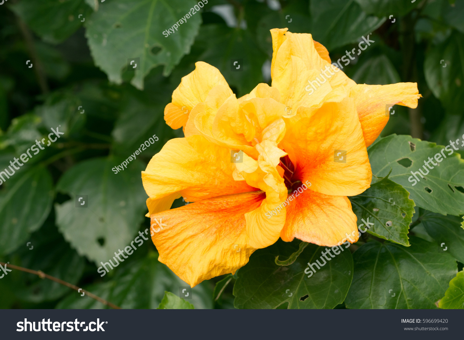 Yellow chinese hibiscus double flower bloominghibiscus stock photo yellow chinese hibiscus double flower bloominghibiscus rosa sinensis izmirmasajfo Image collections