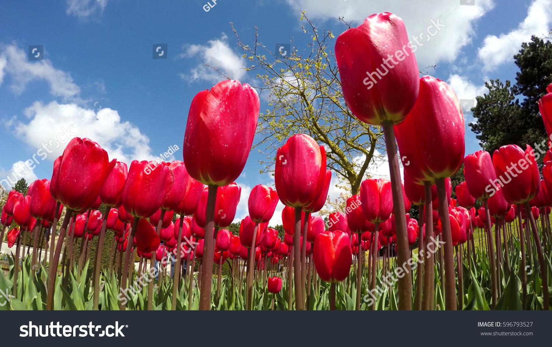 Close Field Beautiful Fresh Red Tulips Stock Photo (Royalty Free ...