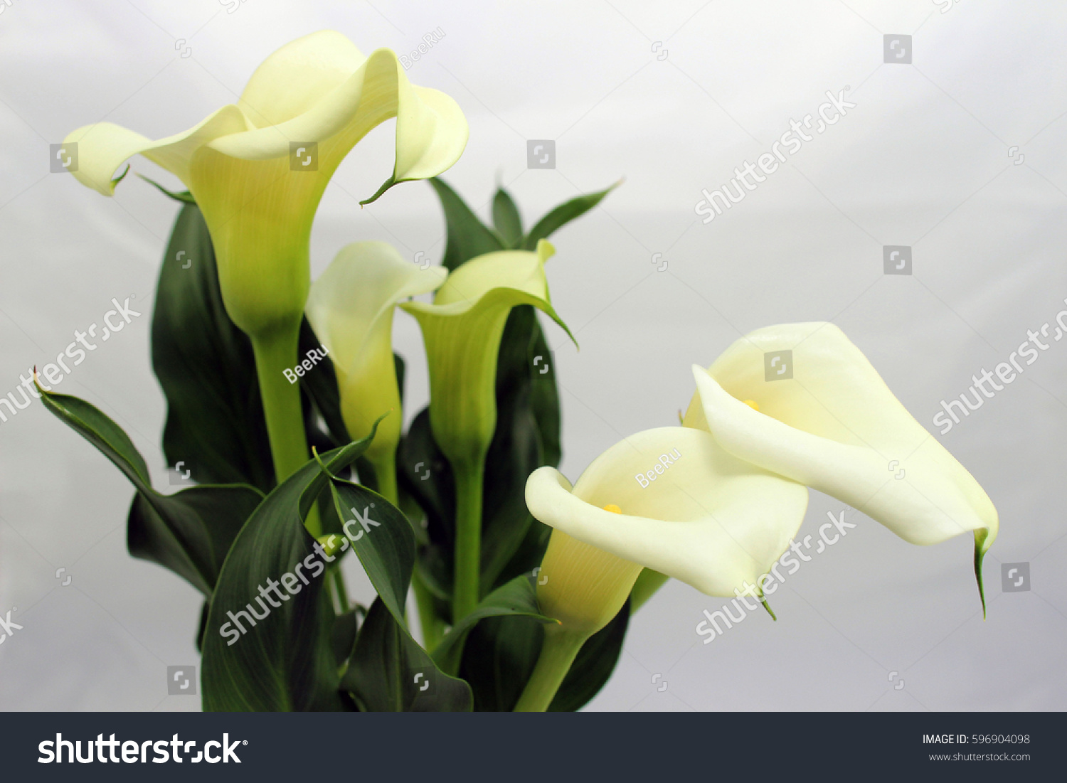 Calla lily flowers on white background stock photo royalty free calla lily flowers on white background stock photo royalty free 596904098 shutterstock izmirmasajfo