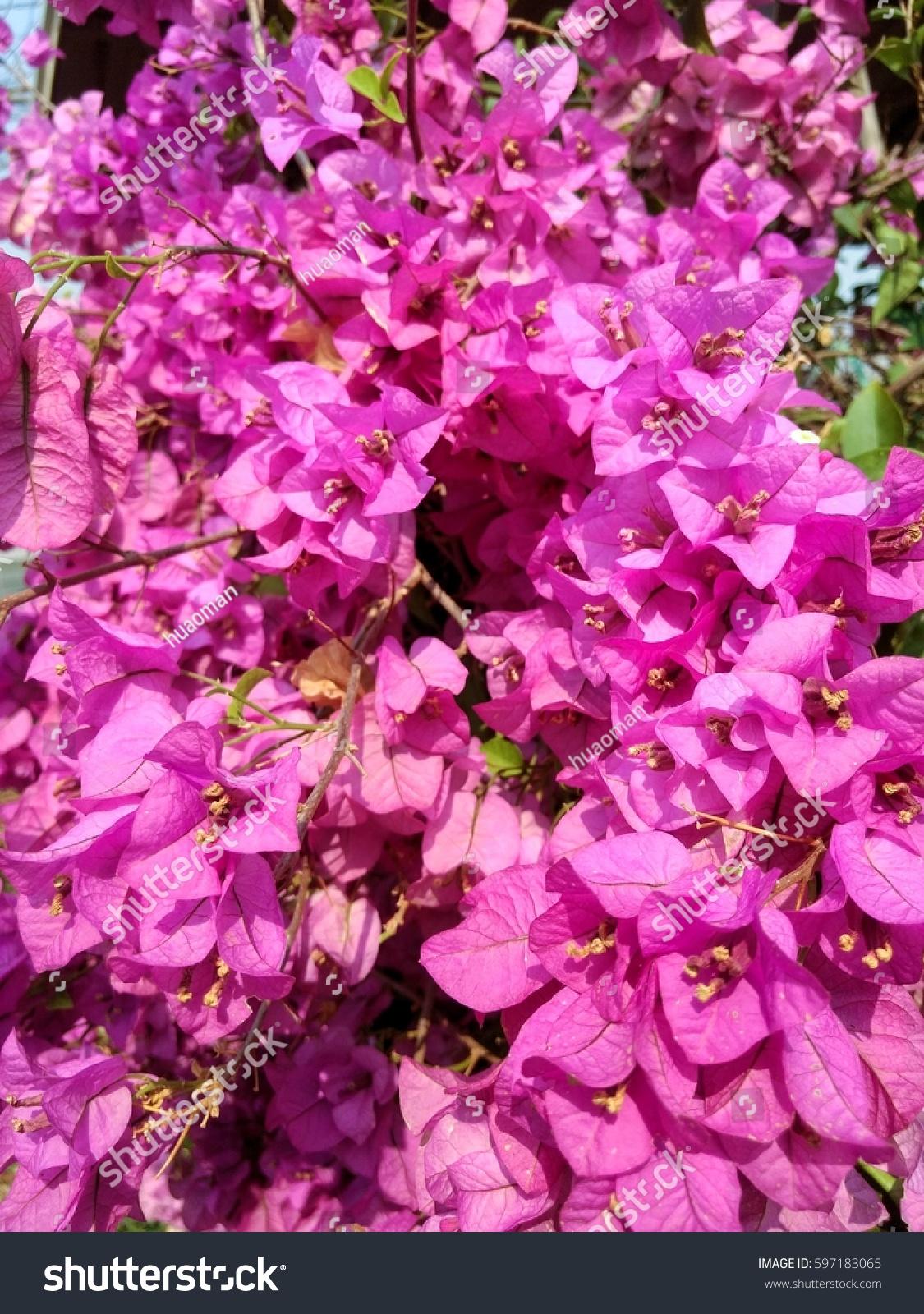 Bougainvillea Paper Flower Colorful Color Texture Stock Photo Edit