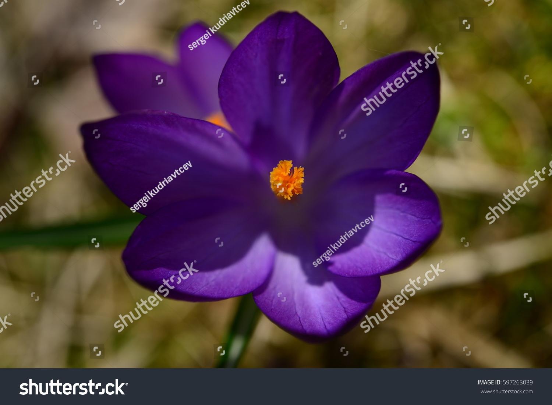 Early Spring Flower Crocus Bloom Sunlight Stock Photo Edit Now