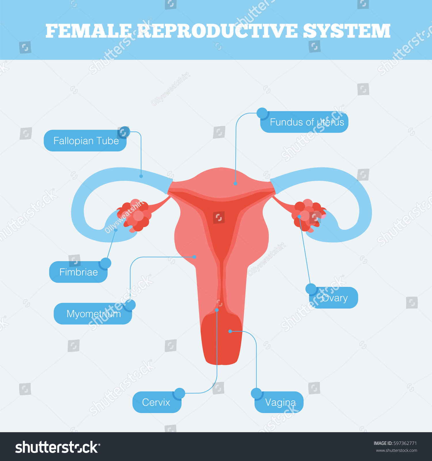 Female Reproductive System Flat Info Graphic Stock Vector (Royalty ...