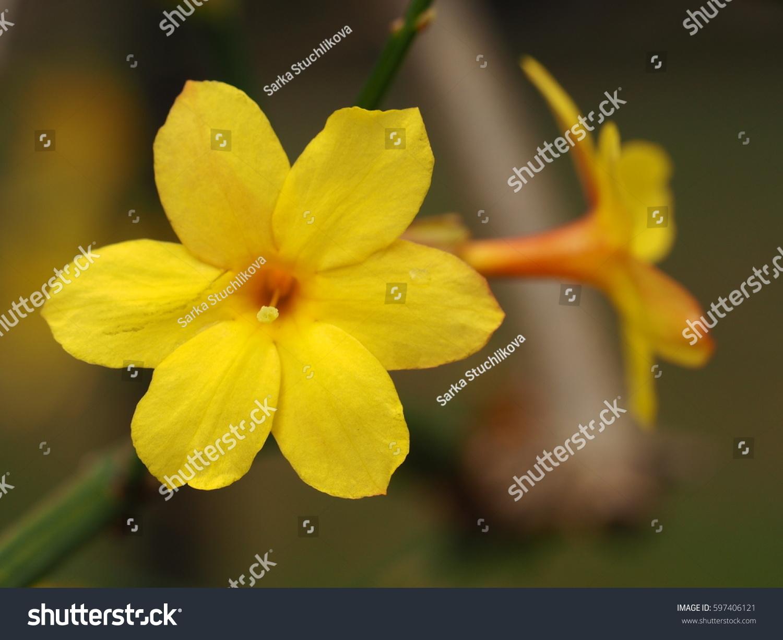 Jasminum Nudiflorum Jasmine Yellow Flower Spring Stock Photo Edit