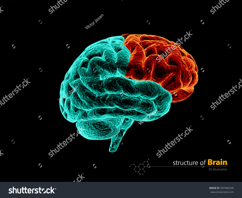 Human Brain Frontal Lobe Anatomy Structure Stock Illustration ...