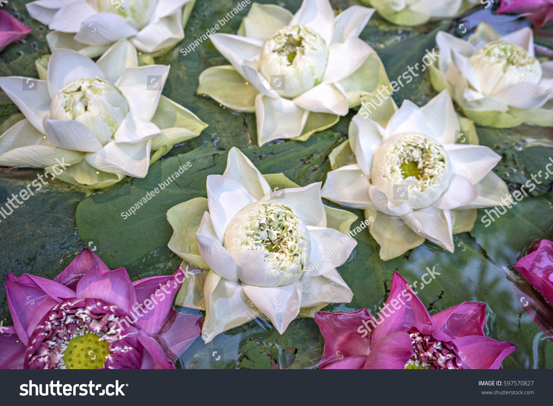 Lotus Flower Nelumbo Nucifera Known By Stock Photo Royalty Free