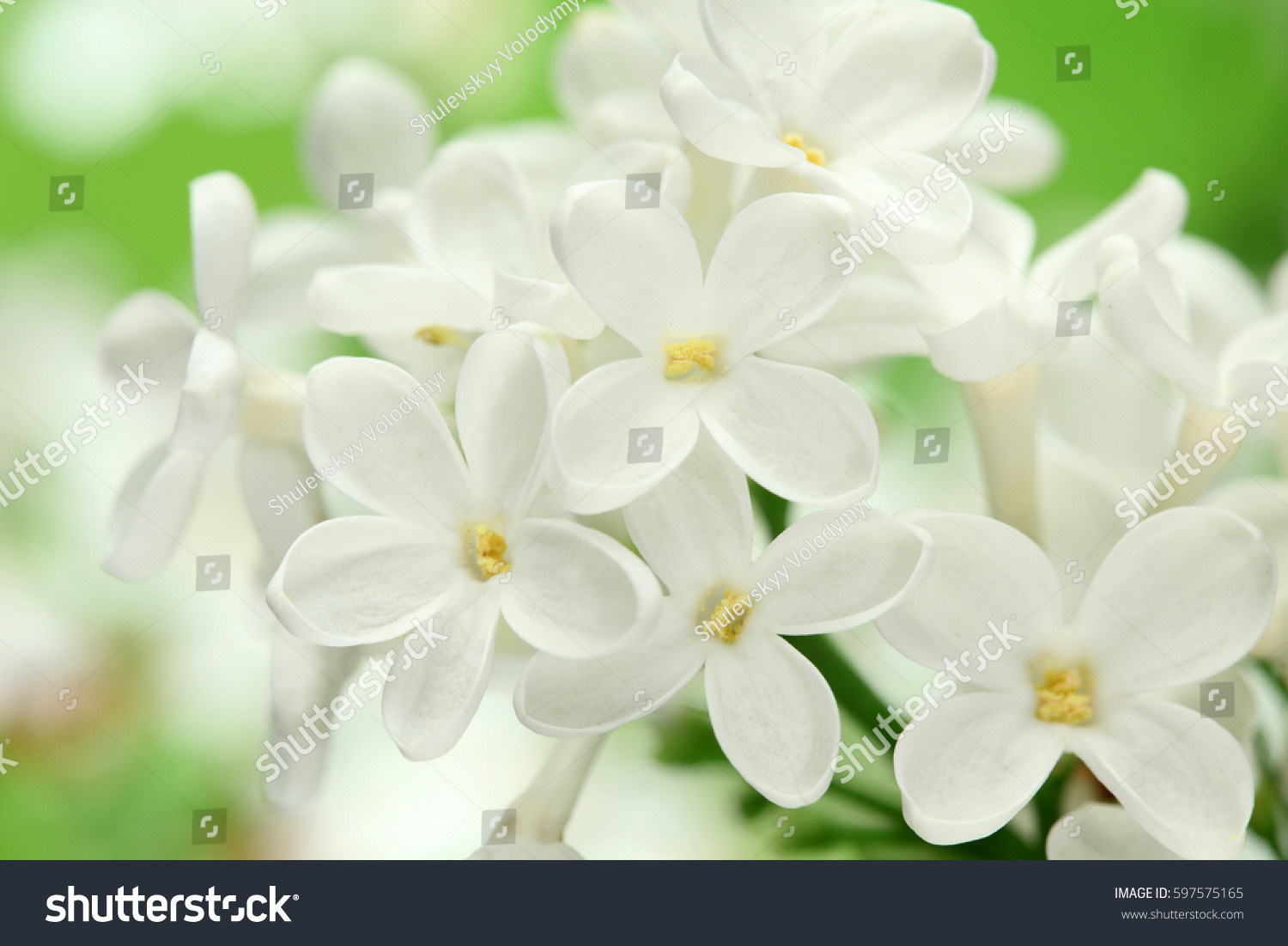 White Lilac Flowers Background White Lilacs Stock Photo Royalty