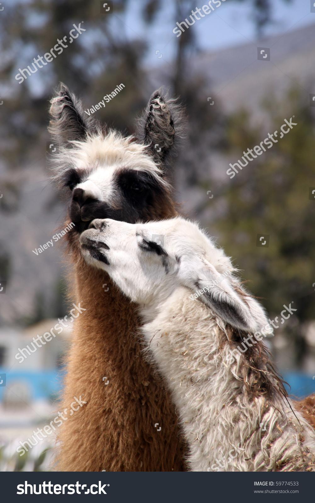Llamas Sex 71