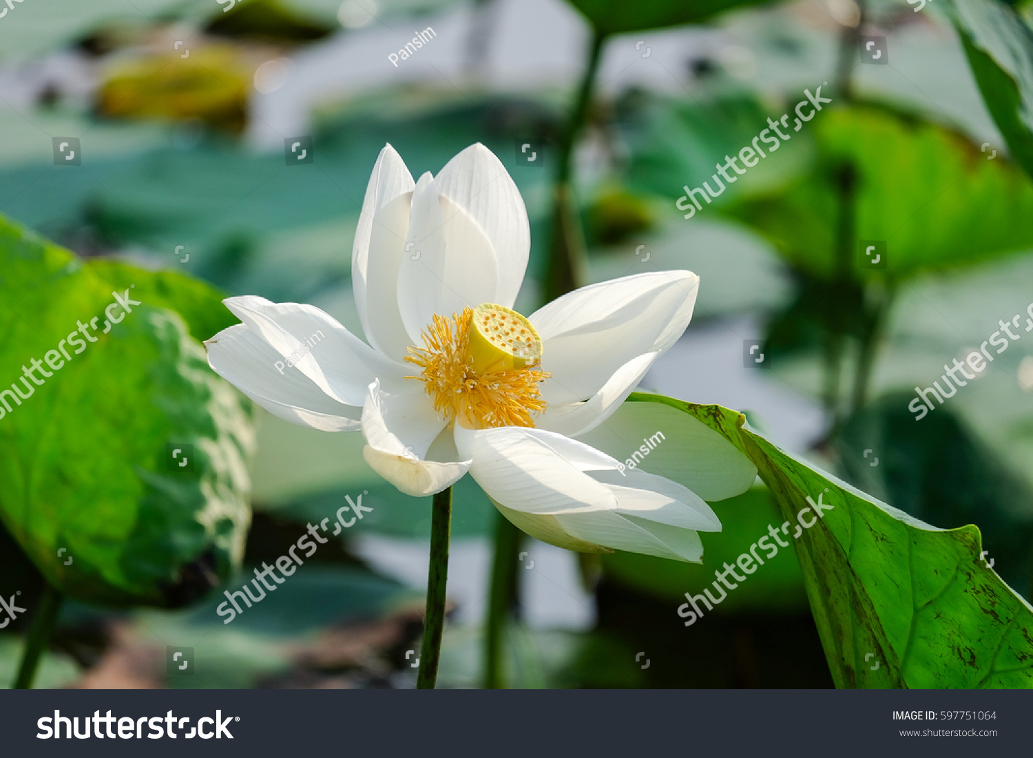White lotus flower with green leaf background ez canvas id 597751064 izmirmasajfo