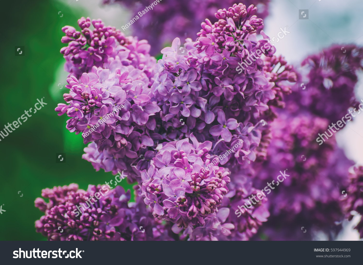 Branch Lilac Flowers Green Leaves Floral Stock Image Download Now