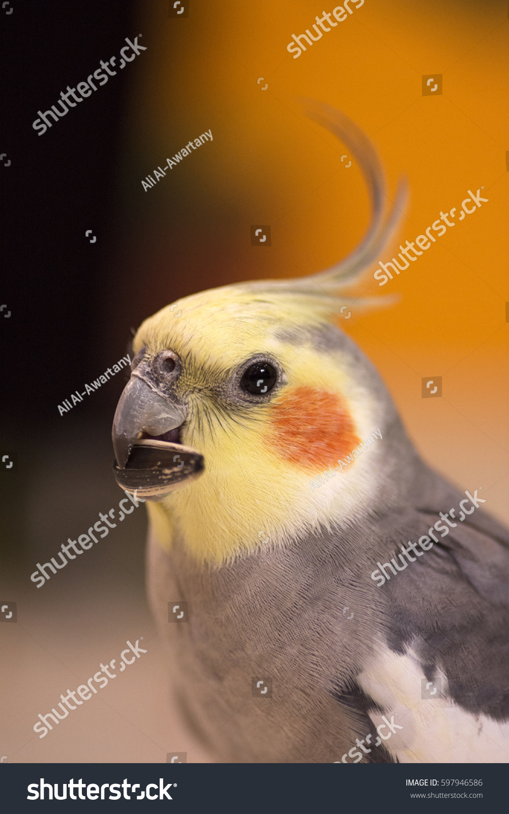 stock-photo-closeup-of-cockatiel-bird-59