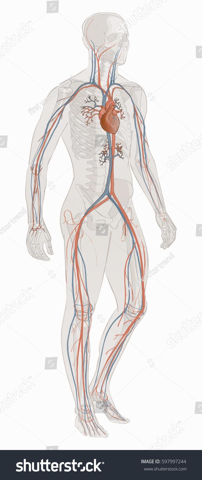 Human Body Parts Circulatory Vascular System Stock Vector 597997244 ...