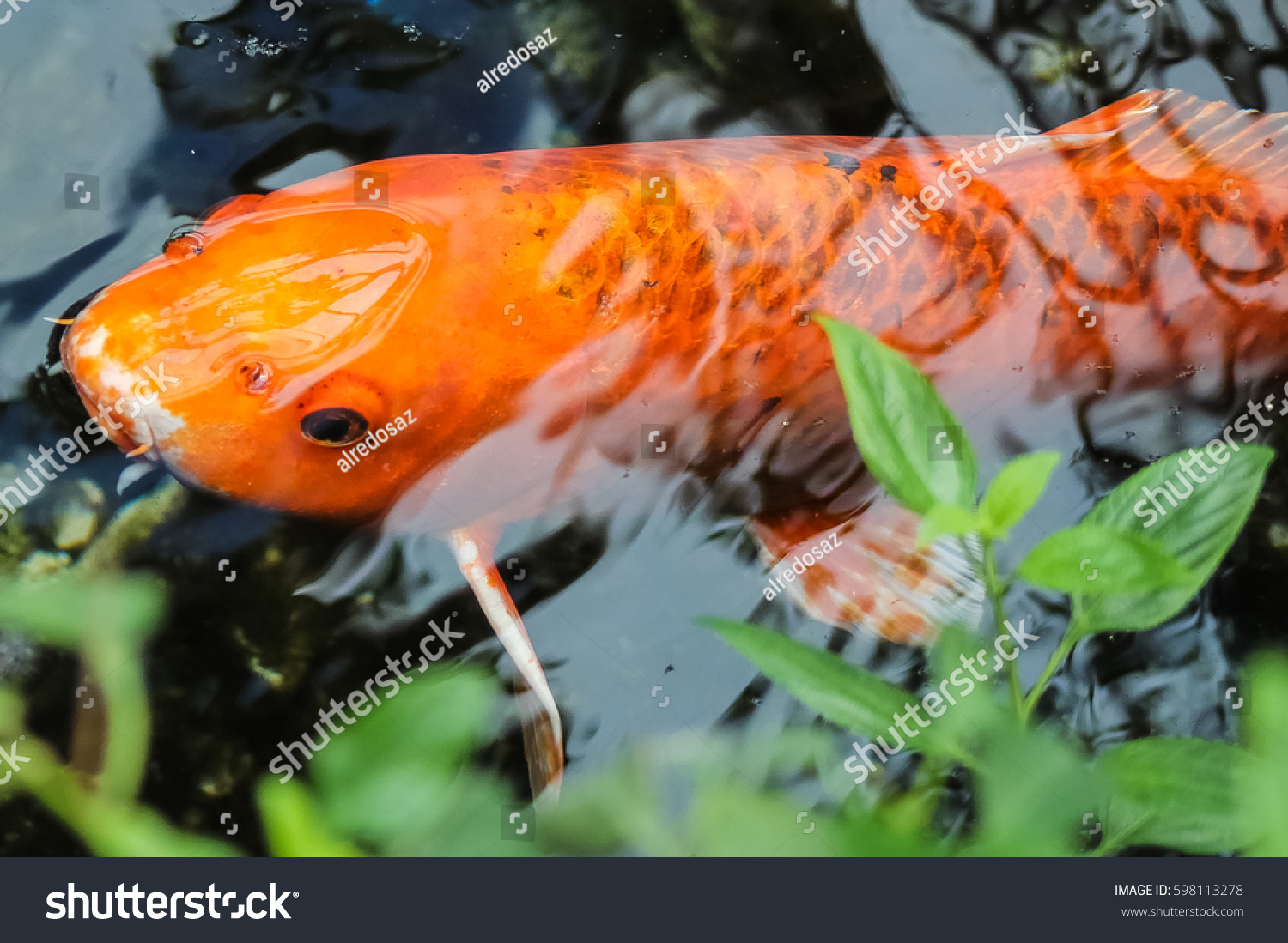 Koi fancy orange carp stock photo 598113278 shutterstock for Orange koi carp