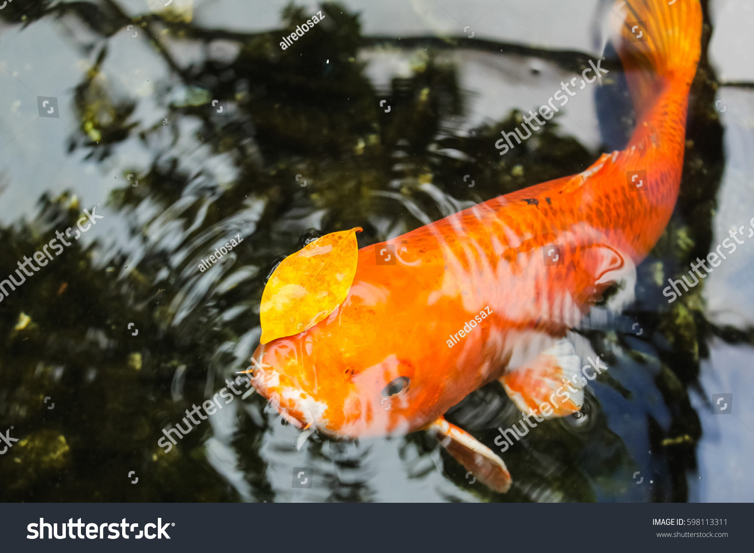 Koi fancy orange carp stock photo 598113311 shutterstock for Orange koi carp