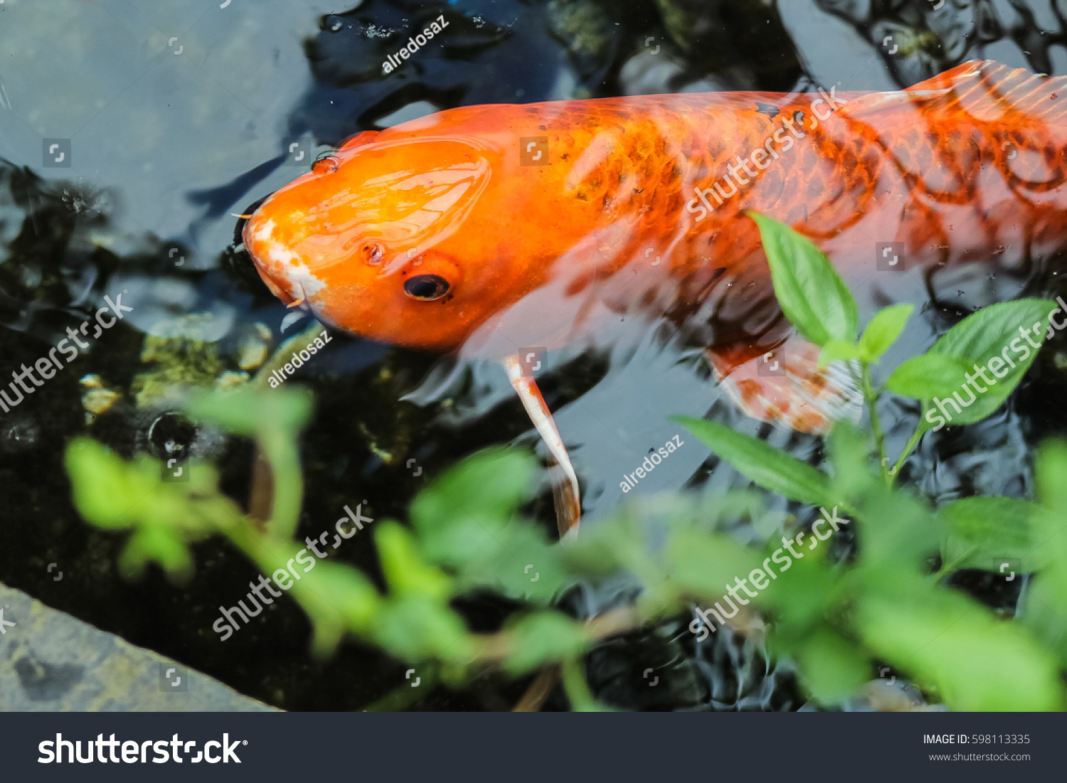 Koi fancy orange carp stock photo 598113335 shutterstock for Orange koi carp