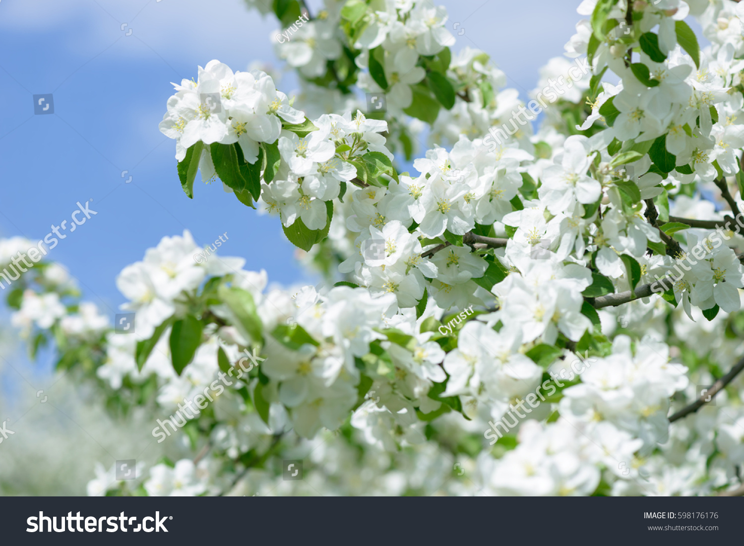 White Apple Flowers Beautiful Flowering Apple Trees Background