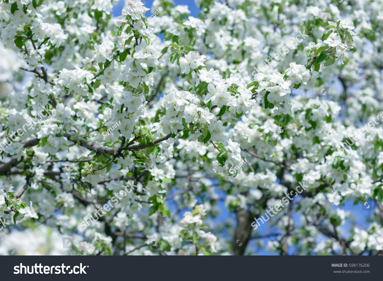 White Apple Flowers Beautiful Flowering Apple Stock Photo Edit Now