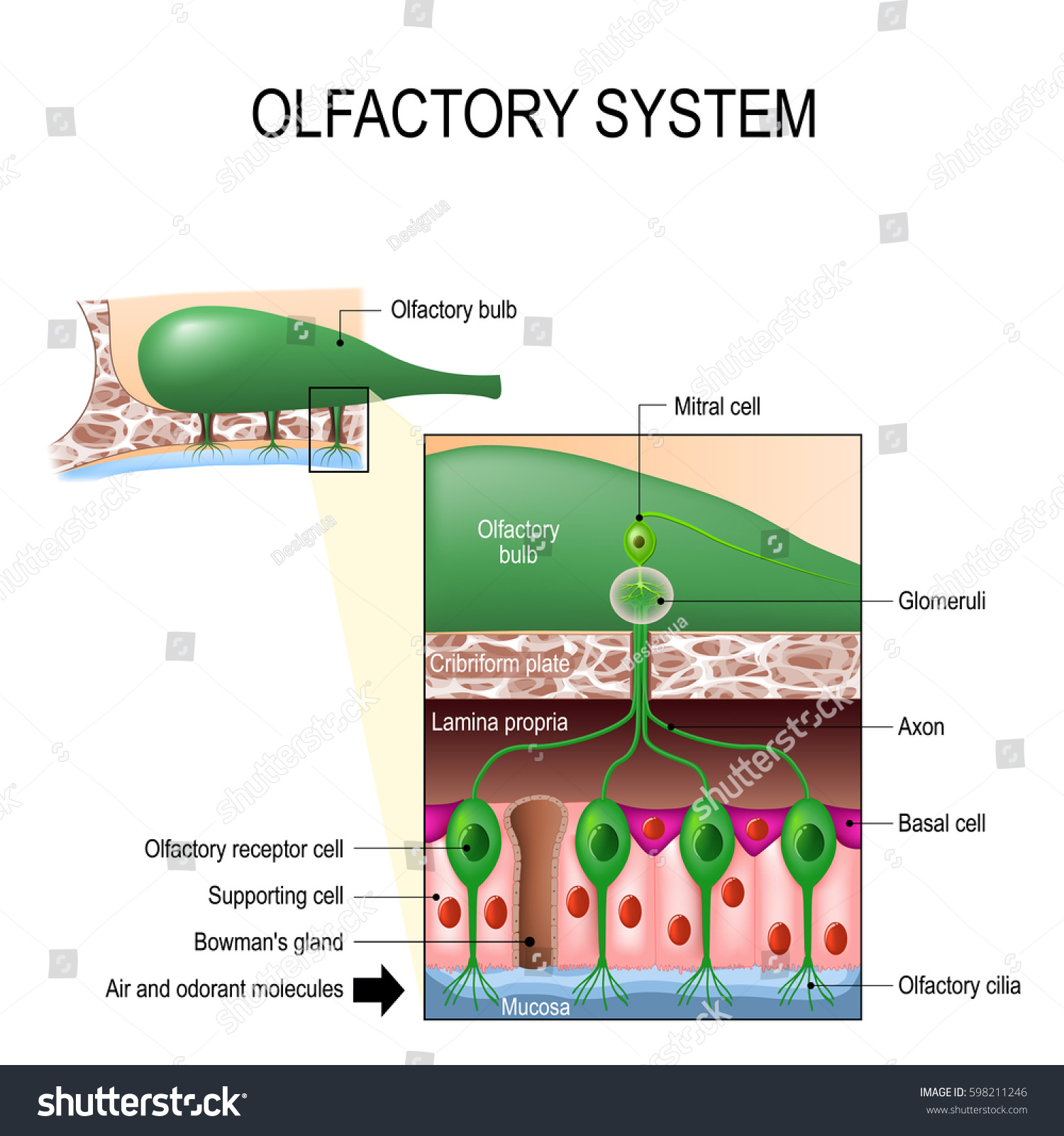 Olfactory System Sense Smell Human Anatomy Stock Vector Hd Royalty