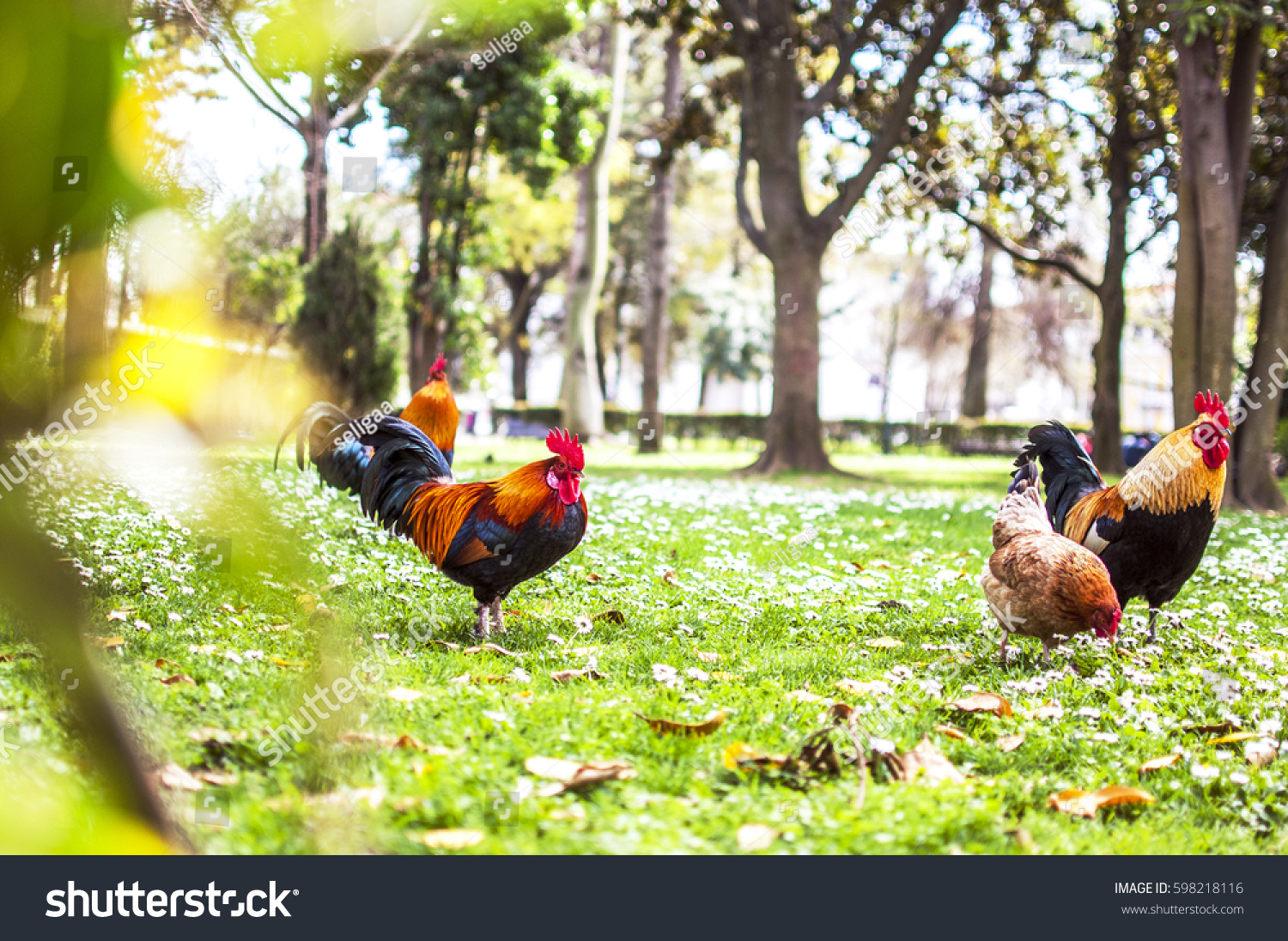 Roosters Chicken Park Lisbon Symbol Portugal Stock Photo Edit Now