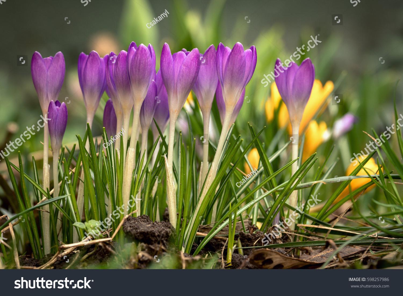 Beautiful Spring Flower Crocus Growing Wild Stock Photo Edit Now