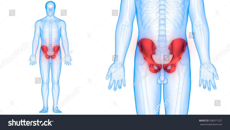 Human Body Bone Joint Pains Anatomy Pelvis 3d Ez Canvas