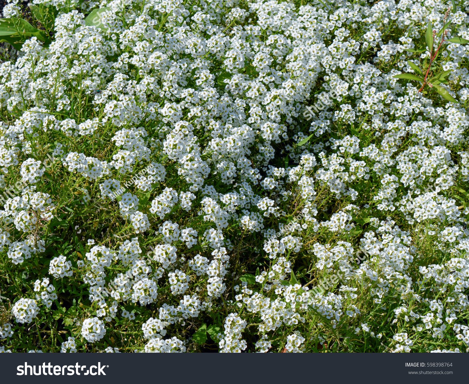 White Flowers Sweet Alison Lobularia Maritima Stock Photo Edit Now