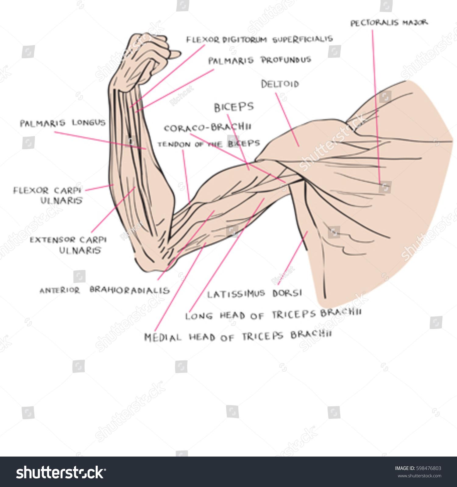 Hand Drawn Illustration Arm Muscles Artistic Stock Vektorgrafik