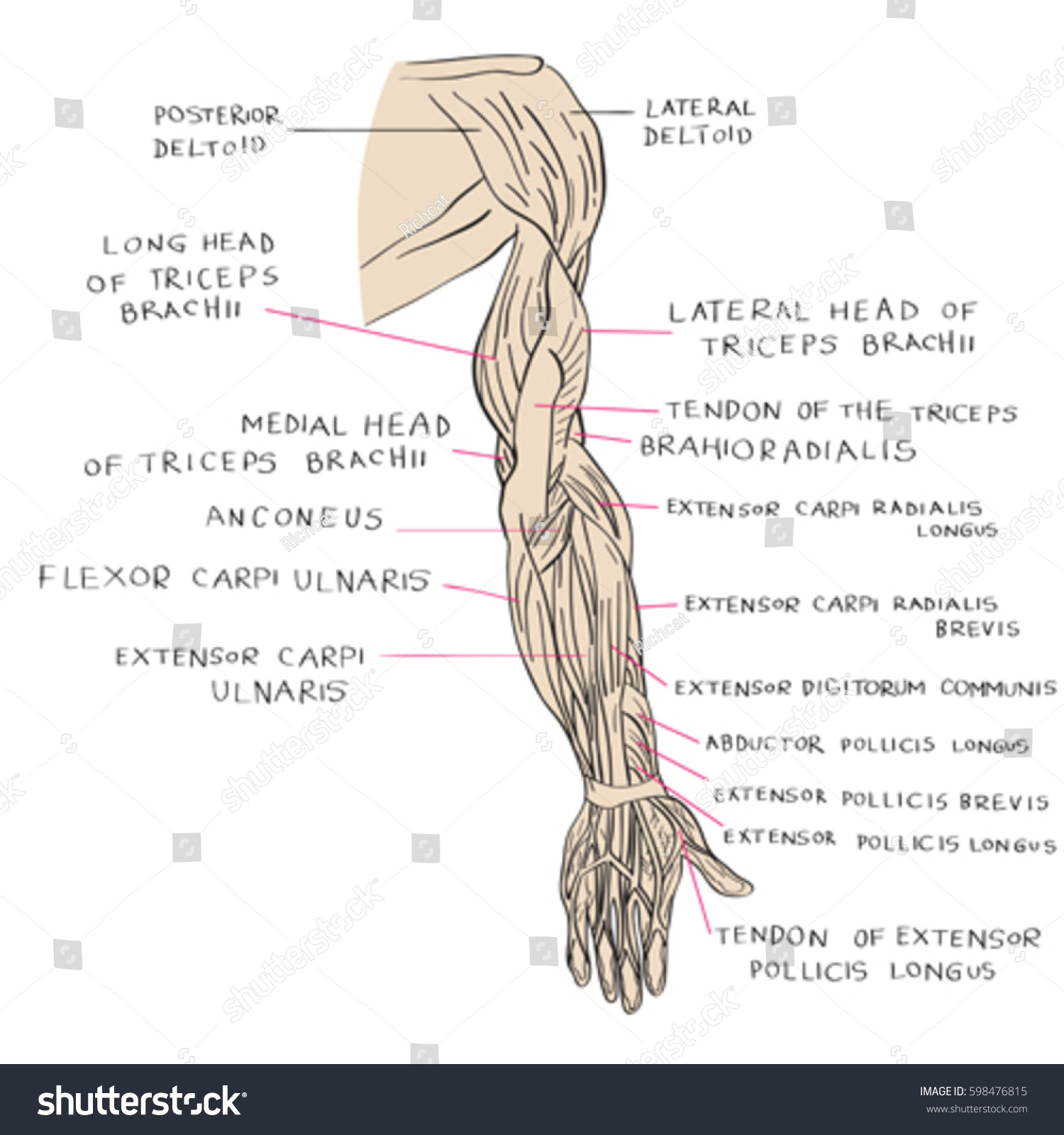 Hand Drawn Illustration Arm Muscles Artistic Stock Vector Royalty