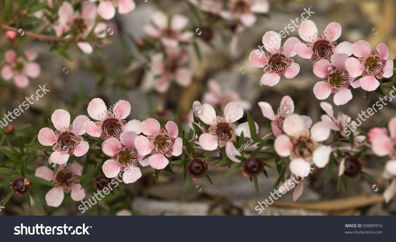 Australian Native Wildflowers Spring Flowers Cascading Stock Photo