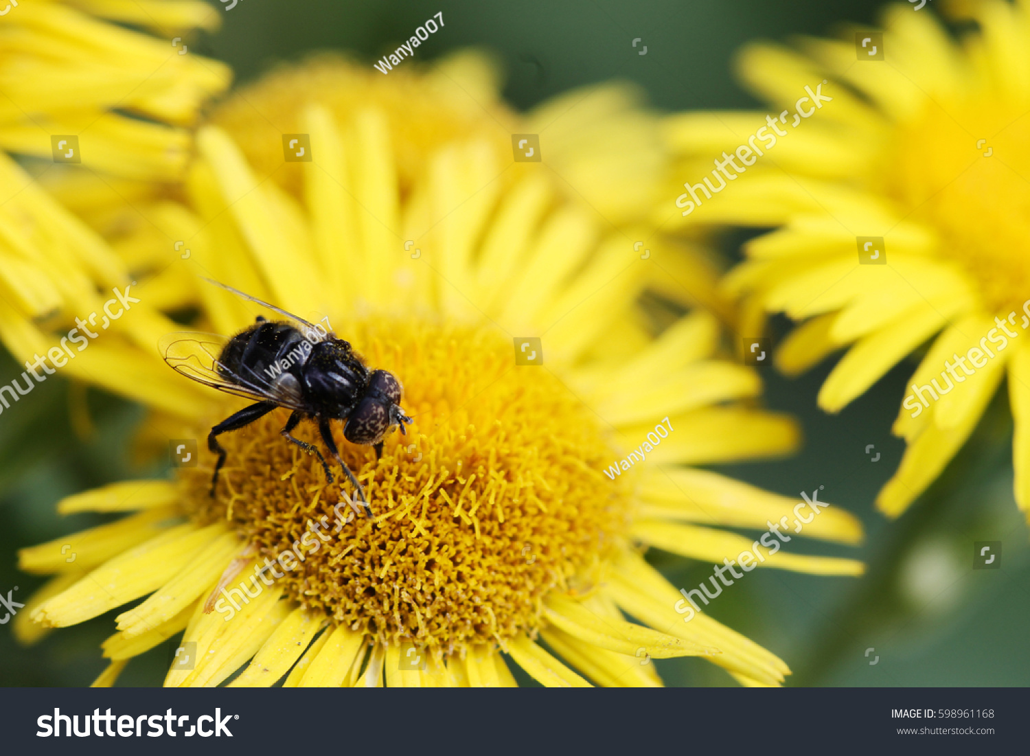 Bee Assiduously Laboriously Pollinates Beautiful Flower Stock Photo