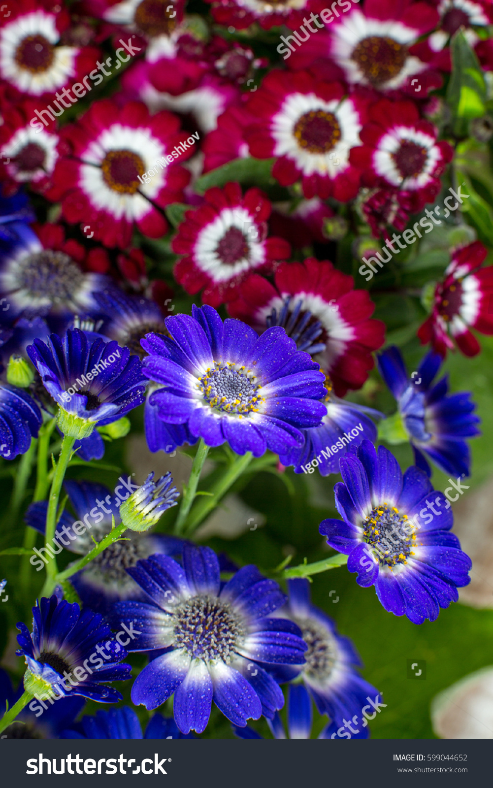 Blue Red Flowers Dew Drops Spring Stock Photo Royalty Free