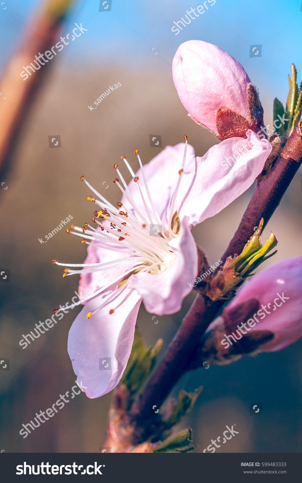 Sweet Peach Blossoms Early Spring Bees Stock Photo Edit Now