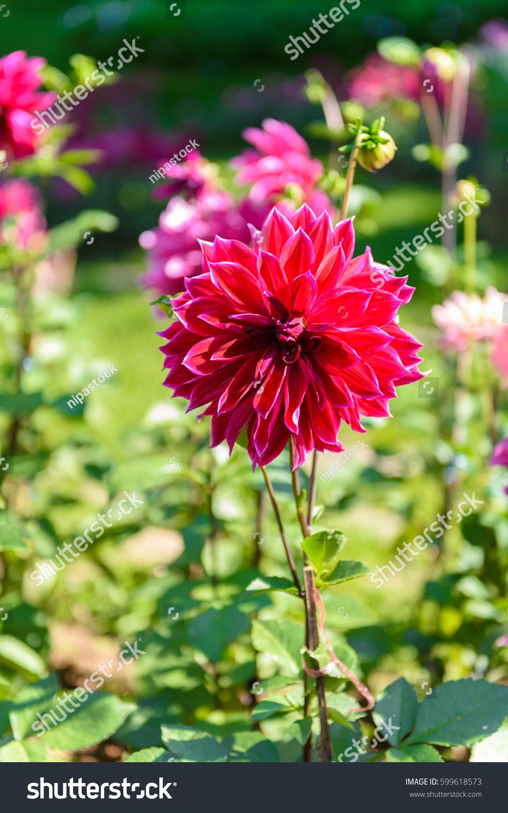 Full Bloom Closeup Beautiful Dahlia Flowers In The Garden Ez Canvas