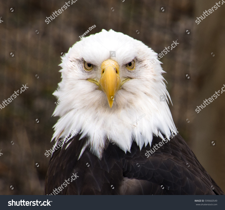 Male Bald Eagle North American Bird Stock Photo Edit Now 599660549