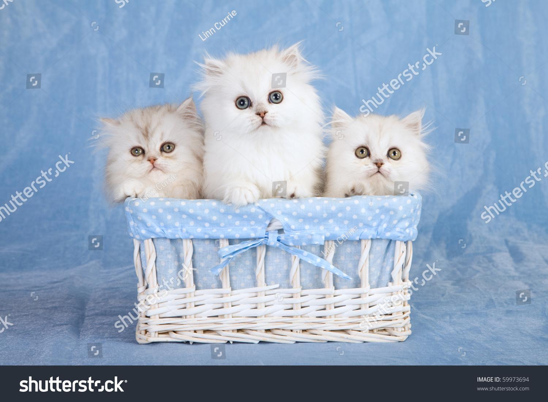 Silver Chinchilla Persian Kittens Blue Stock