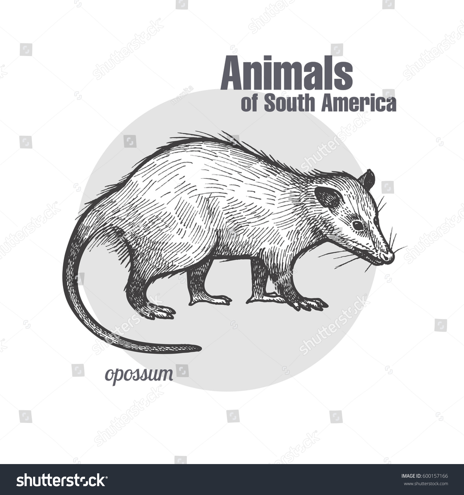 Opossum Hand Drawing Animals South America Stock Vektorgrafik
