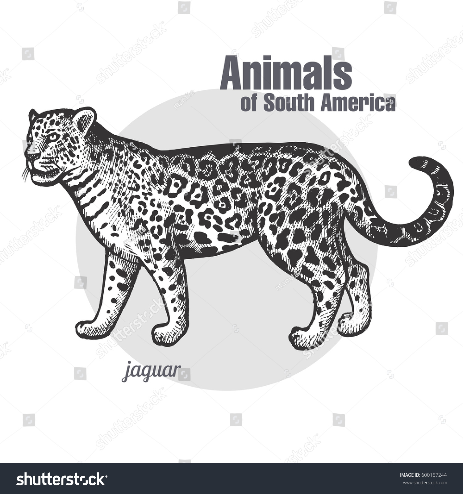 jaguar hand drawing animals of south america series vintage engraving style vector illustration