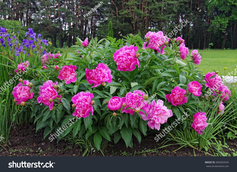 Beautiful Blooming Peony Bush Pink Flowers Stock Photo Edit Now