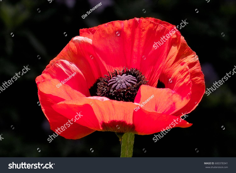 Shiny Red Flower Oriental Poppy Papaver Stock Photo Edit Now