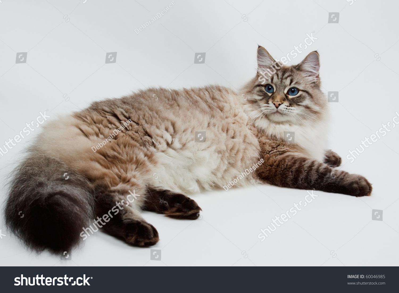 female cat in heat sound