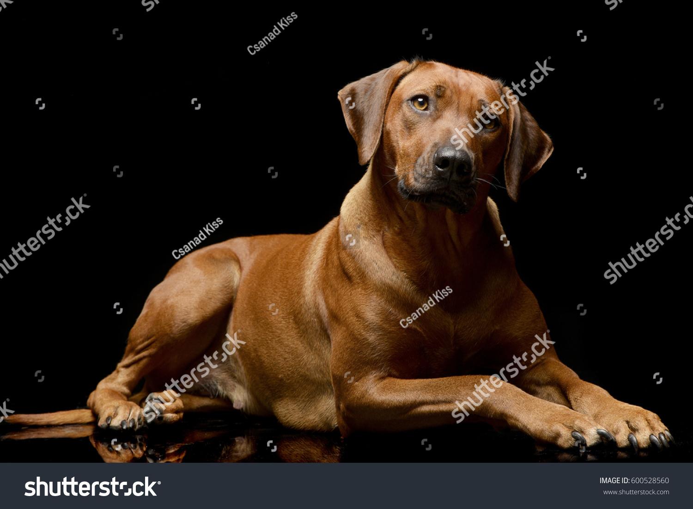 Fantastic Rhodesian Ridgeback Brown Adorable Dog - stock-photo-studio-shot-of-an-adorable-rhodesian-ridgeback-lying-on-black-background-600528560  Best Photo Reference_283488  .jpg
