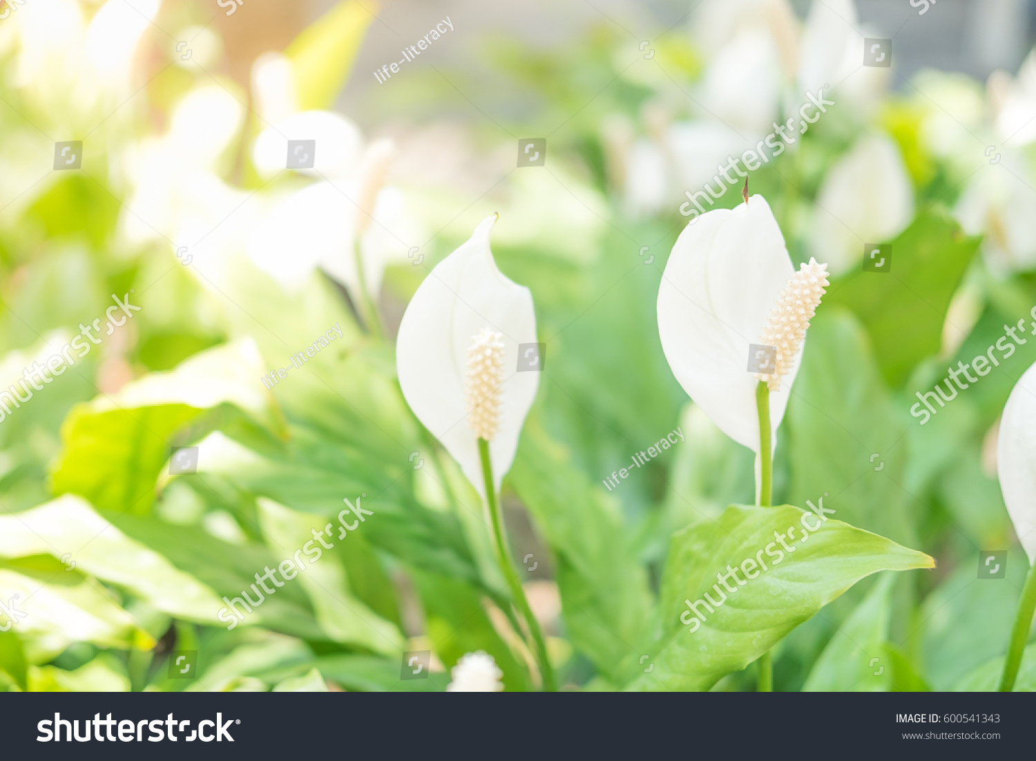 Royalty Free White Anthurium Flower With Green Leaf 600541343
