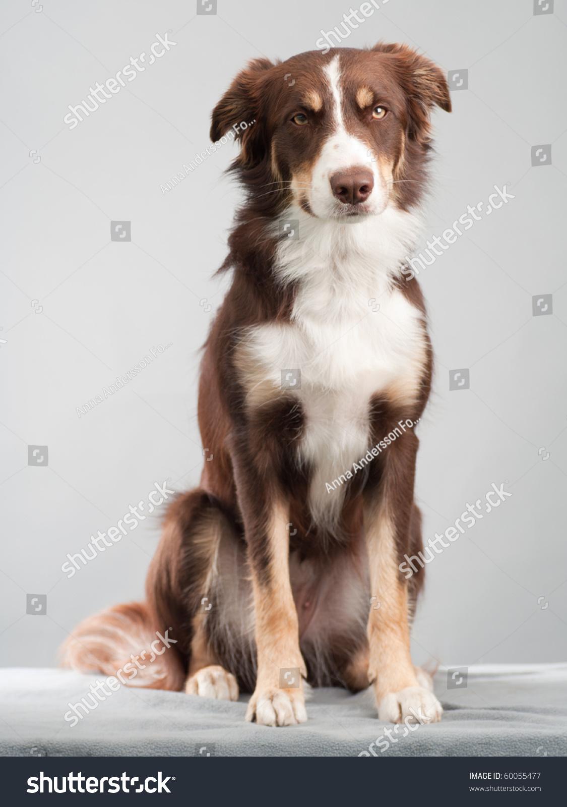 Brown Bordercollie Sitting Studio Stock Photo 60055477 ... Black Russian Terrier