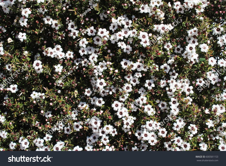 Leptospermum Scoparium Known Snow White Tea Stock Photo Royalty