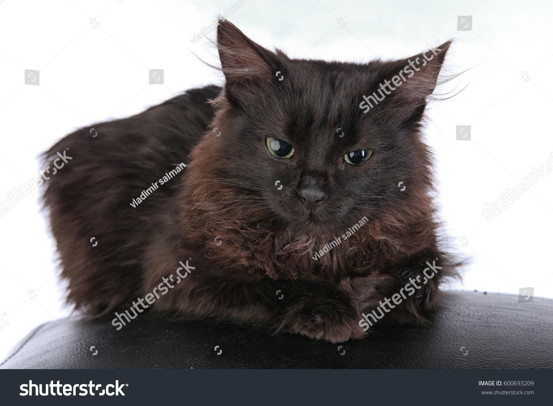 Closeup Portrait Angry Black Cat On Stock Photo 600693209 ...