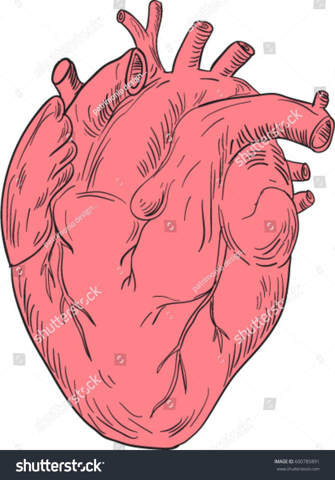 Drawing Sketch Style Illustration Human Heart Stock Vektorgrafik
