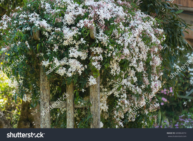Beautiful Scented White Nepal Jasmine S Stock Photo Royalty Free