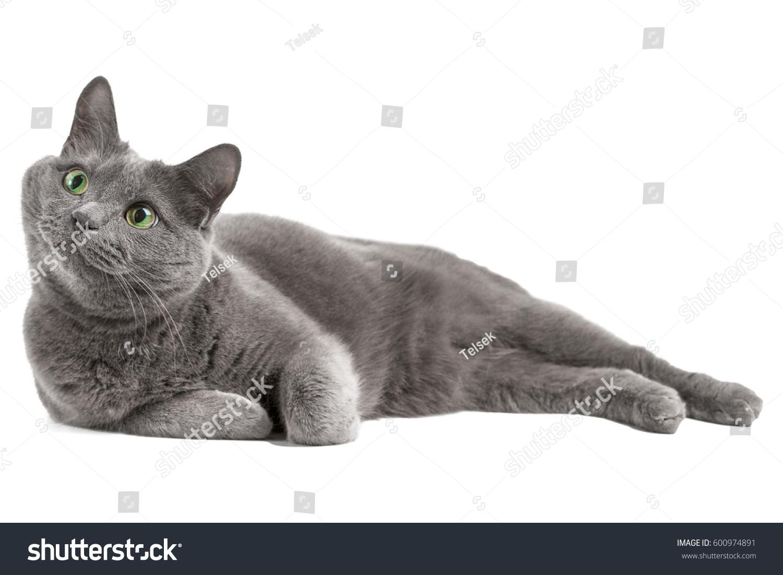Lying Gray Cat Green Eyes Russian Stock Shutterstock