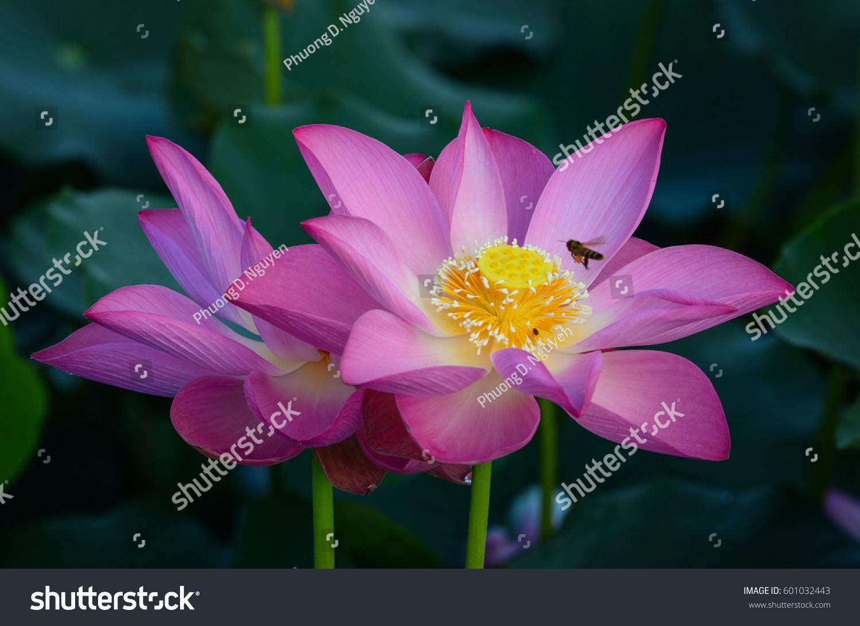 Closeup Lotus Flower Sunrise Lotus Flowers Stock Photo Edit Now